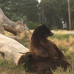 Bear with an itch