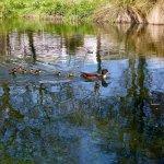 Avon River, Duck Family