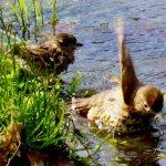 Avon Rive, Birds Bathing