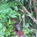 Orang utan from the canopy walkway