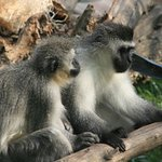 Mischievous Monkeys