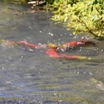 salmon spawning in the stream
