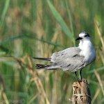 Foto de Nalsarovar Bird Sanctuary