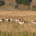 One of several herds of pronghorn we saw on our tour.
