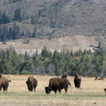 One of several herds of buffalo we saw on the tour.