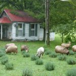 View from the porch - Sheep at Work