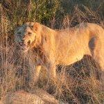 Male juvenile lion