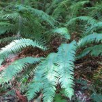 Lots of ferns and foliage along the short path to the falls