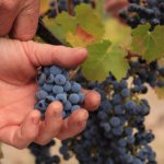 all of our grapes are handpicked