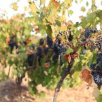 our vineyards are all dry-grown, wines from each vintage are representative of the growing seaso