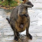 Swamp wallaby on the office footpath