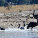 Local Emus having a bath