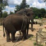 Elephants chained