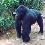 gorillas at the lodge