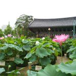 The lotus garden in front of temple