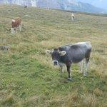 Mucche al pascolo (percorso 14)
