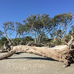 One of the fallen trees on Driftwood Beach, Jekyll Island, GA
