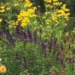 Salvia 'Amistad' with Rudbeckia 'Herbstsonne' behind