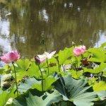 Lush waterlillies