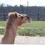 Gomer the Camel