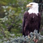 EAGLE IN TREE OVER WATER