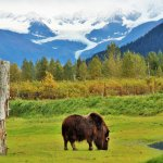 Love the setting... musk ox