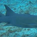 Nurse shark 1_large.jpg