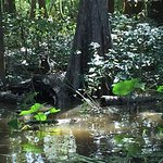 Dr. Wagner's Honey Island Swamp Tours Foto
