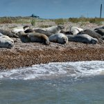 Photo of seals from Bishop's Boat Trip