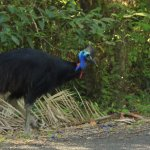 Cassowary eating fruits by the side of the road