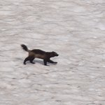 We saw the elusive wolverine ( 3 of them) just below the Sentinel pass in a patch of snow!