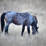 Wild stallion within 10 min. drive of hotel up Wild Horse Canyon.
