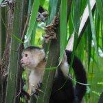 Capuchin monkey near the room