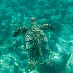 Sea turtle seen while snorkeling in Grace Bay area near Beaches Resort