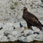 Golden Eagle, and other wildlife abound along the canyon.