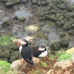 Puffins hanging out on the cliff edge
