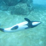 Commersons dolphin... they swim upside down!