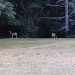 Deer out in the field by the firepit