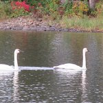 Trumpeter swans on the lake near the inn