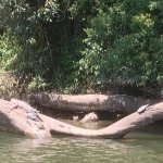 Sunny day on the river with freshwater crocodile and turtles.