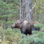 Moose next to trail