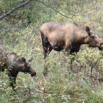 Close by the trail, moose mama with youngster.