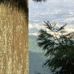 City View from Mt. Takao (with ancient Cedar tree)