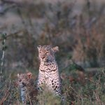 The same Leopard cub with her mother in the early moring light