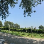 A panoramic view of some of the vines