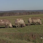 Rhinos in nakuru,Kenya