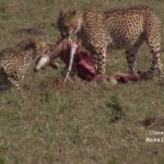 Cheetas with prey