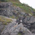 Bald eagle siting