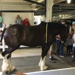Draft Horse Demonstration in the Big Barn