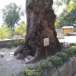 One of the beautiful, and quite old Chinar Trees